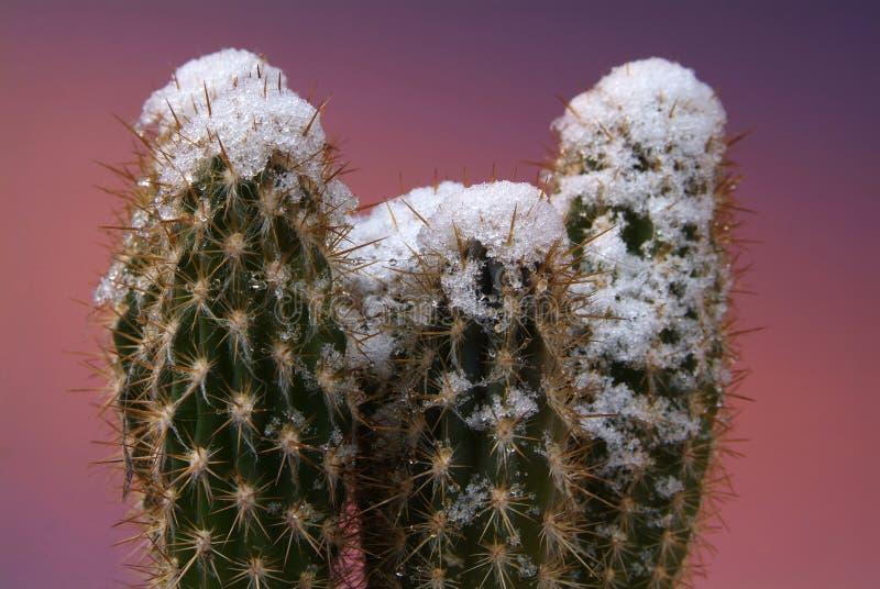 Rzadka scena kaktusy z śnieżnymi wierzchołkami obraz stock
