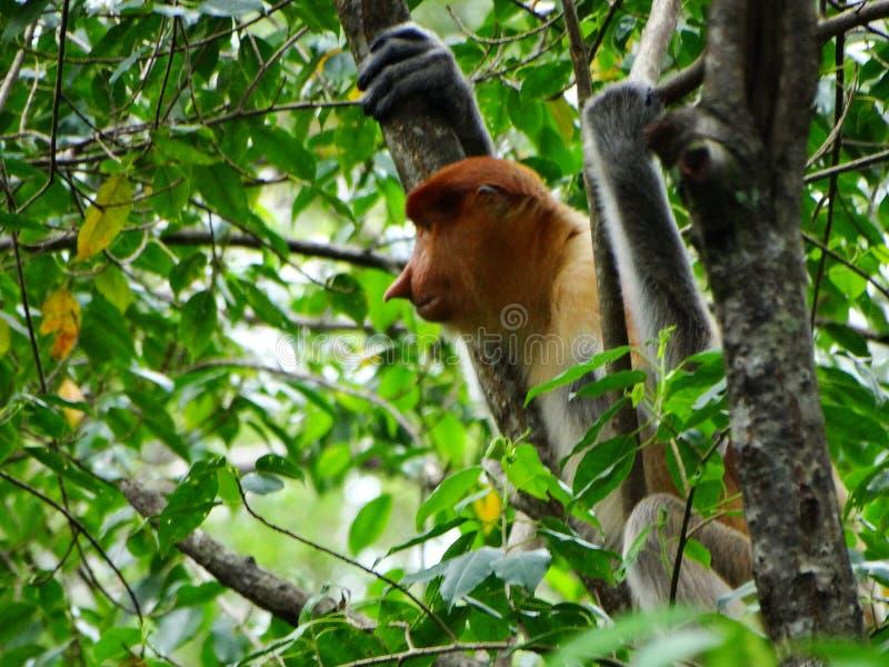 Rzadka trąbiasta małpa w mangrowe Labuk zatoka zdjęcie stock