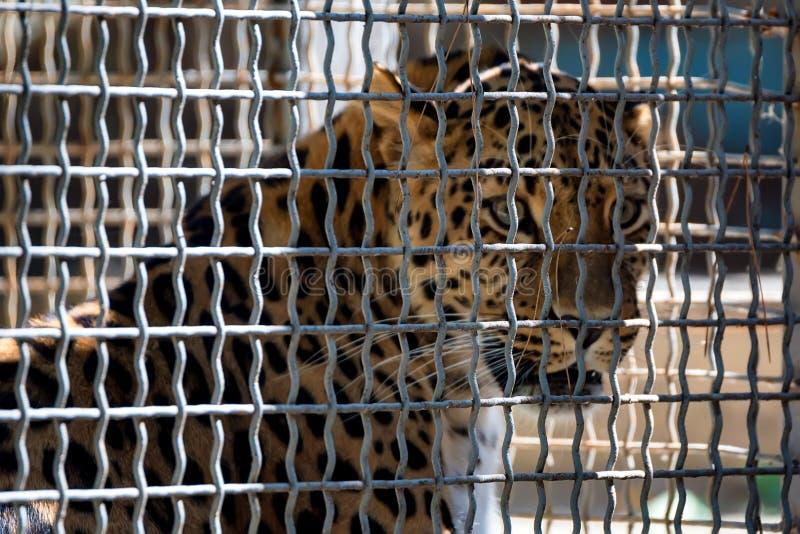 Rzadki Amur lampart lub Panthera pardus orientalis obraz royalty free