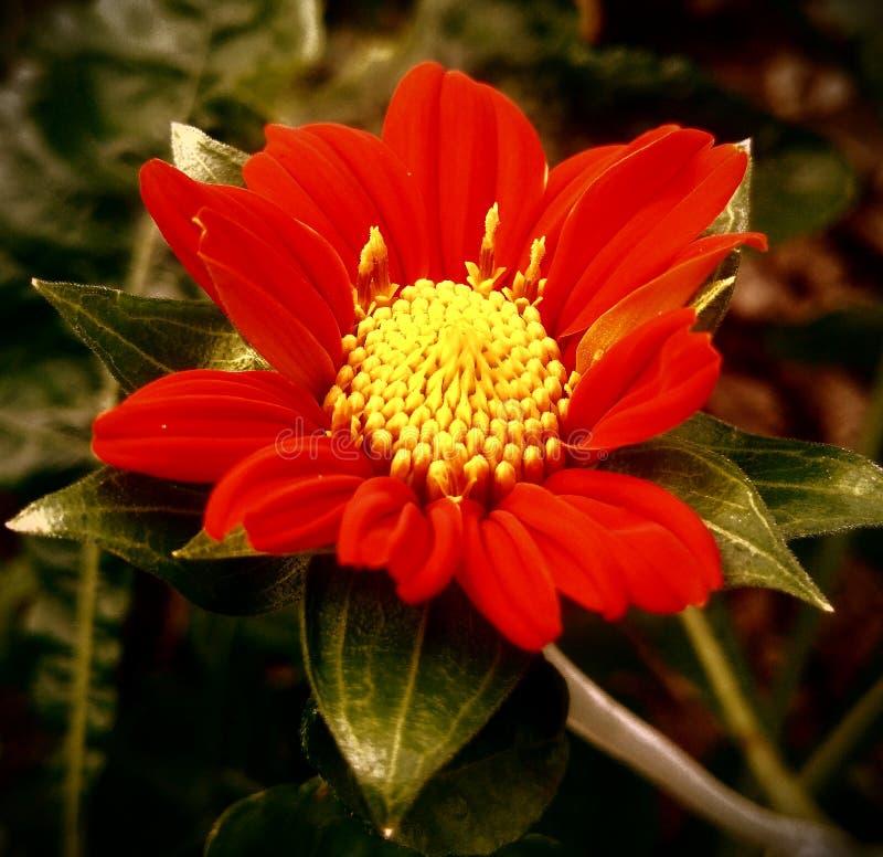 Rzadki czerwony lato kwiat fotografia royalty free