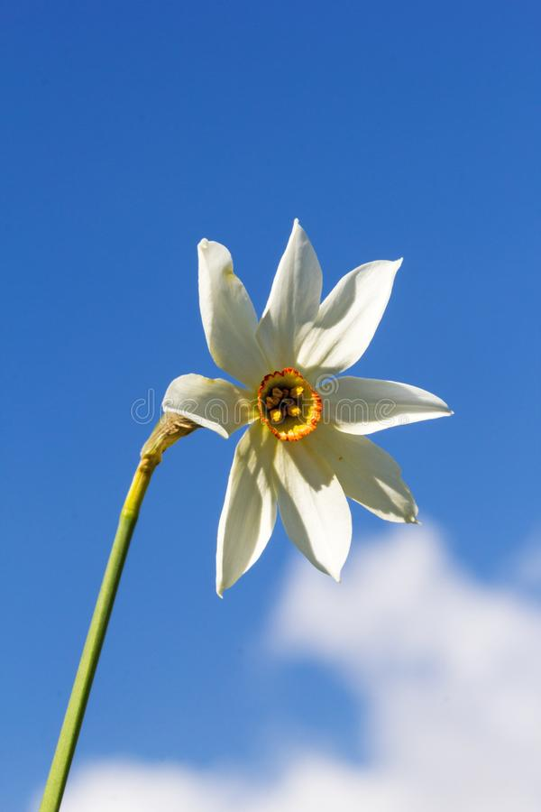 Rzadki exemlar dziki narcyza kwiatu narcyza poeticus z osiem płatkami obraz royalty free