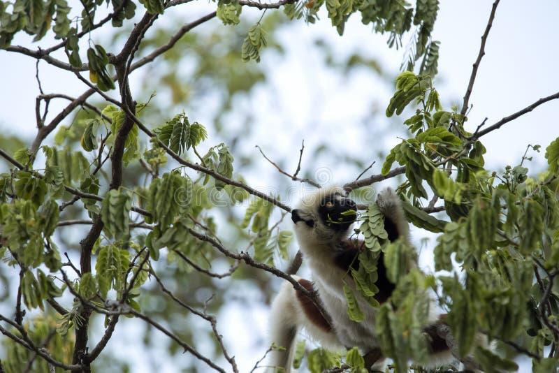 Rzadki lemur Koronujący Sifaka, Propithecus Coquerel, karmy na drzewnych liściach, Ankarafantsika rezerwa, Madagascar zdjęcie stock