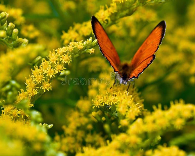 Rzadki miedziany motyl, Lycaena virgaureae zdjęcia stock