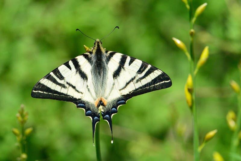 rzadki swallowtail fotografia royalty free
