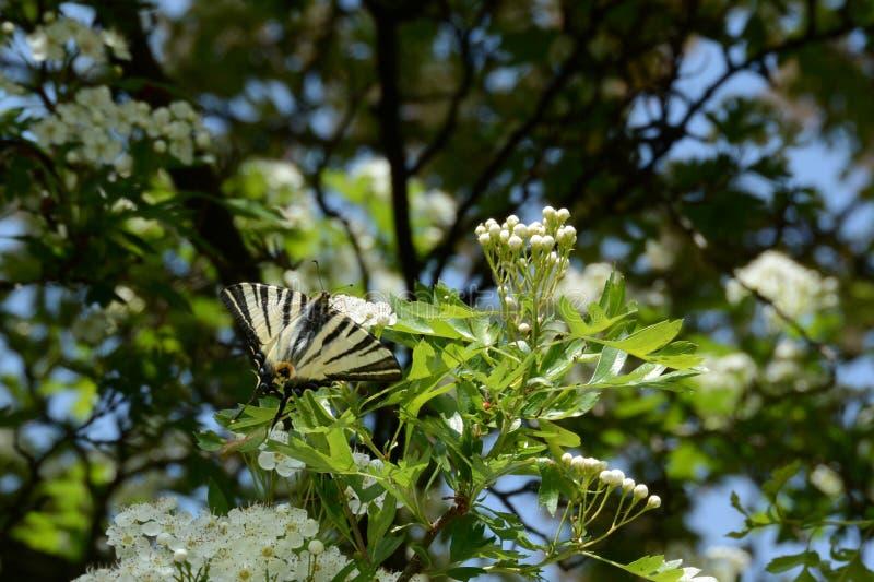Rzadki swallowtail - Iphiclides podalirius zdjęcia stock