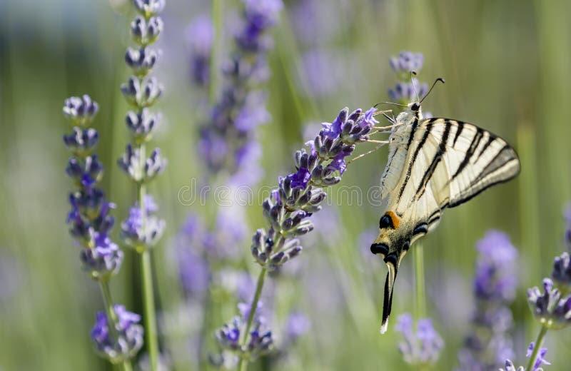Rzadki Swallowtail motyl (Iphiclides podalirius) fotografia royalty free