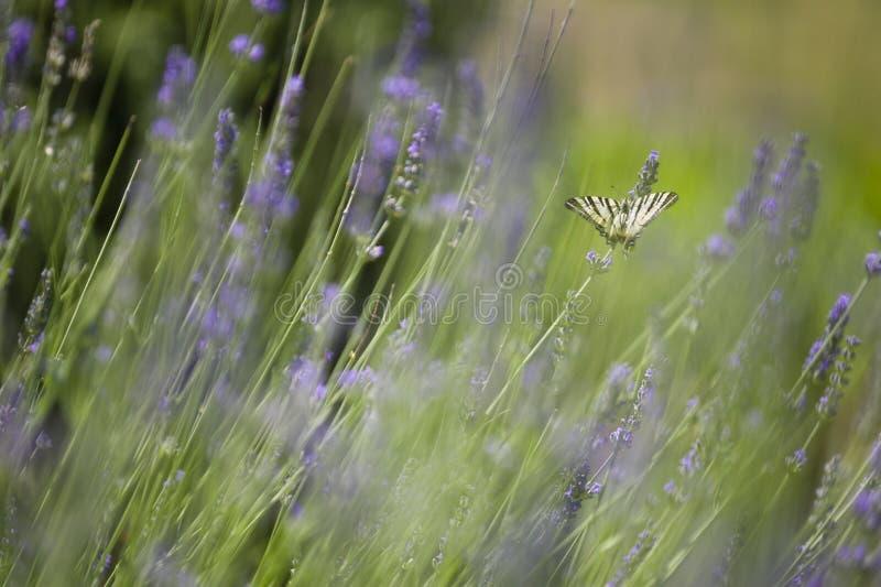 Rzadki Swallowtail motyl (Iphiclides podalirius) zdjęcie royalty free