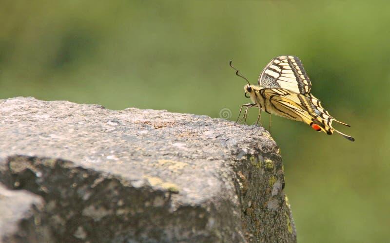Rzadki swallowtail na kamieniu z bokeh tłem obrazy stock