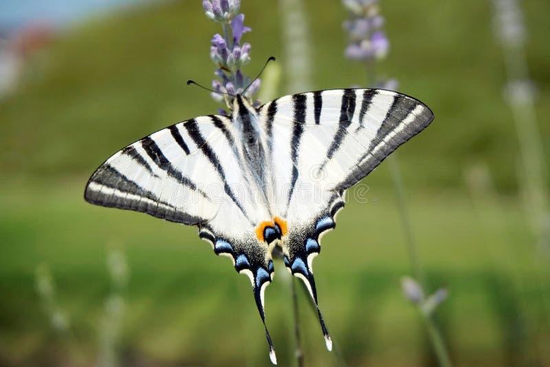 Rzadki swallowtail na lawendowym kwiacie obraz stock