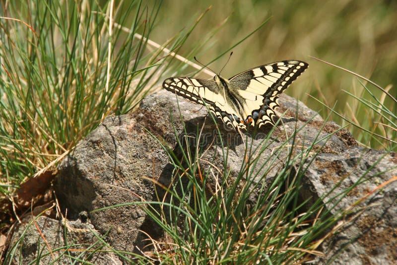Rzadki swallowtail obsiadanie na śniegu, motyl zdjęcia stock