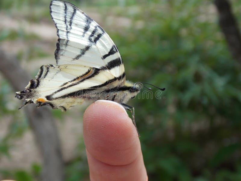 Rzadki swallowtail, podalirius ² Ð ¾ Ñ  Ñ 'Ð ¾ Ð ½ Ð ¾ Ñ  ÐΜÑ † Ð ¿ Ð ¾/Iphiclides/ХРÐ'аÐ' ириР¹ obraz stock