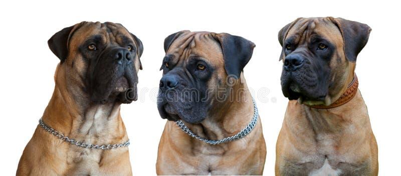 Rzadki traken pies afrykański mastif - Boerboel południe - obrazy stock