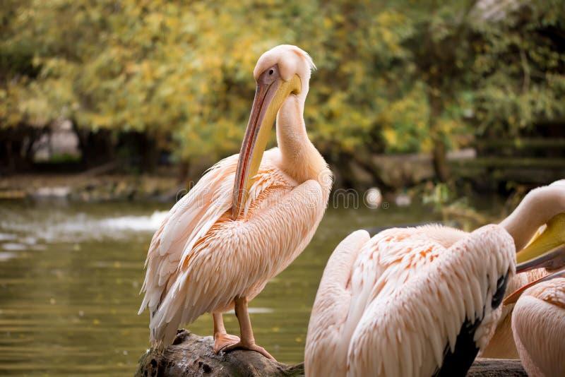 Rzadki Wystawiający rachunek pelikan, Pelecanus philippensisin kamera obrazy royalty free