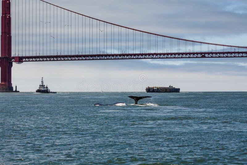 Rzadki wzrok macierzysty humpback wieloryba fuks, Megaptera novaeangliae, pływa z dzieckiem w San Fransisco zatoce z golden gate  zdjęcie stock