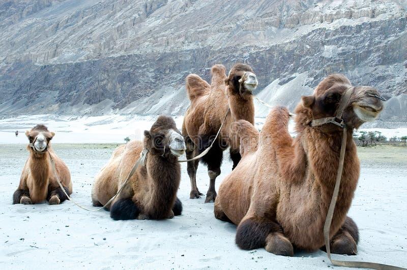 Rzadkiego dwoistego garbu Bactrian wielbłąd w sandunes Hunder, Nubra dolina, Ladakh, India zdjęcie royalty free