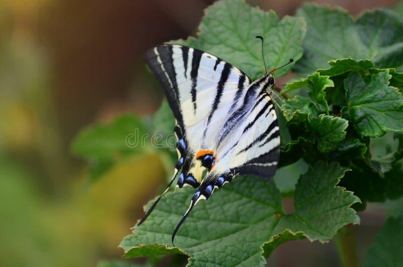 Rzadkiego swallowtail Iphiclides podalirius rzadki europejski motyl siedzi na krzakach kwitnąć raspberrie obraz stock