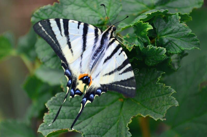 Rzadkiego swallowtail Iphiclides podalirius rzadki europejski motyl siedzi na krzakach kwitnąć raspberrie zdjęcie stock