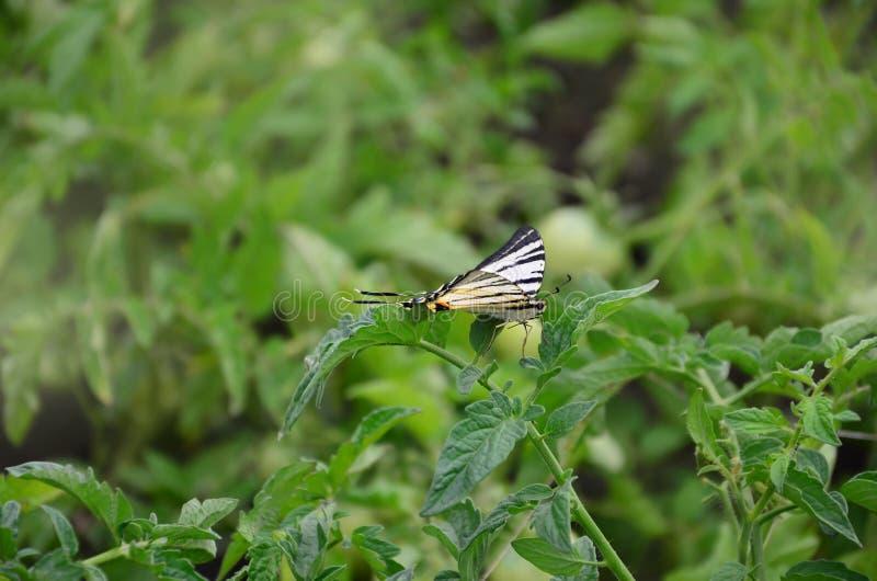 Rzadkiego swallowtail Iphiclides podalirius rzadki europejski motyl siedzi na krzakach kwitnący tomat obraz stock