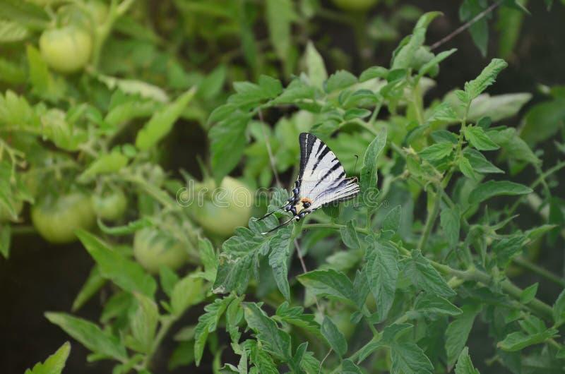 Rzadkiego swallowtail Iphiclides podalirius rzadki europejski motyl siedzi na krzakach kwitnący tomat zdjęcie stock