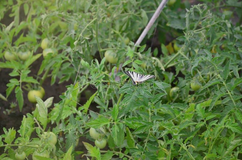 Rzadkiego swallowtail Iphiclides podalirius rzadki europejski motyl siedzi na krzakach kwitnący tomat obraz royalty free