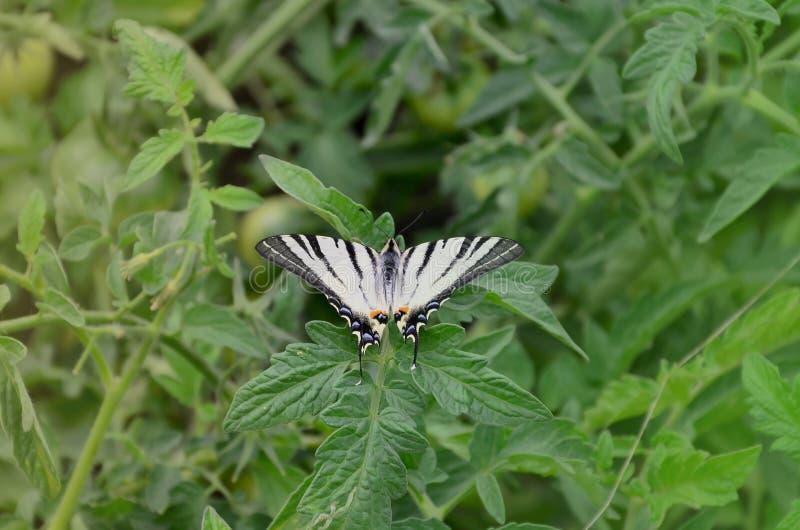 Rzadkiego swallowtail Iphiclides podalirius rzadki europejski motyl siedzi na krzakach kwitnący tomat zdjęcia royalty free