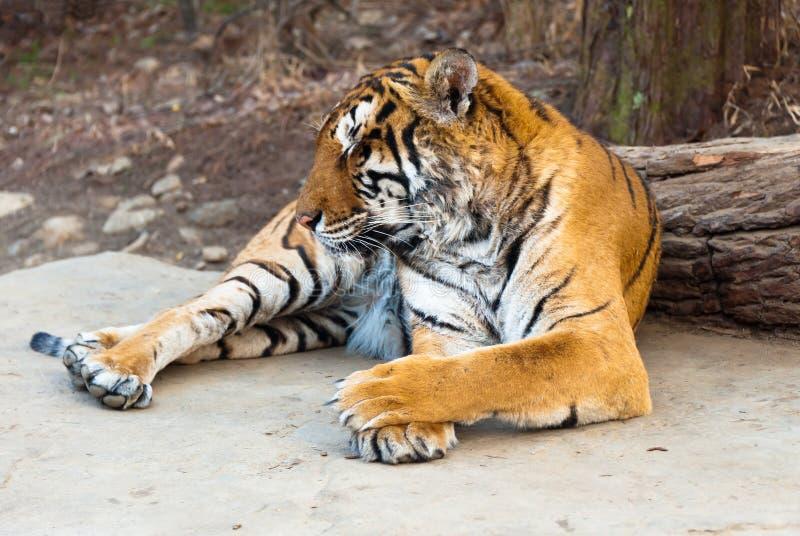 Rzadkiego Syberyjskiego ussur Amur Seul tygrysi uroczysty park obrazy royalty free