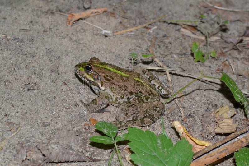 Rzeczna żaba obraz royalty free