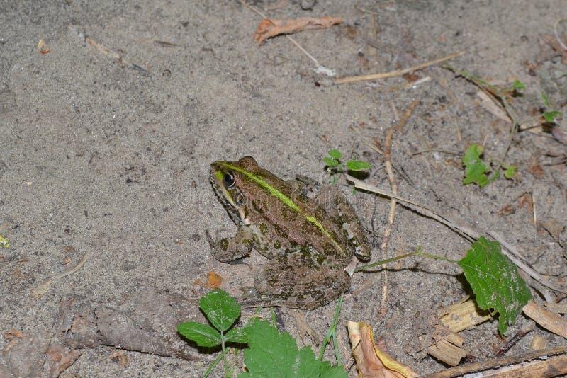 Rzeczna żaba obraz stock