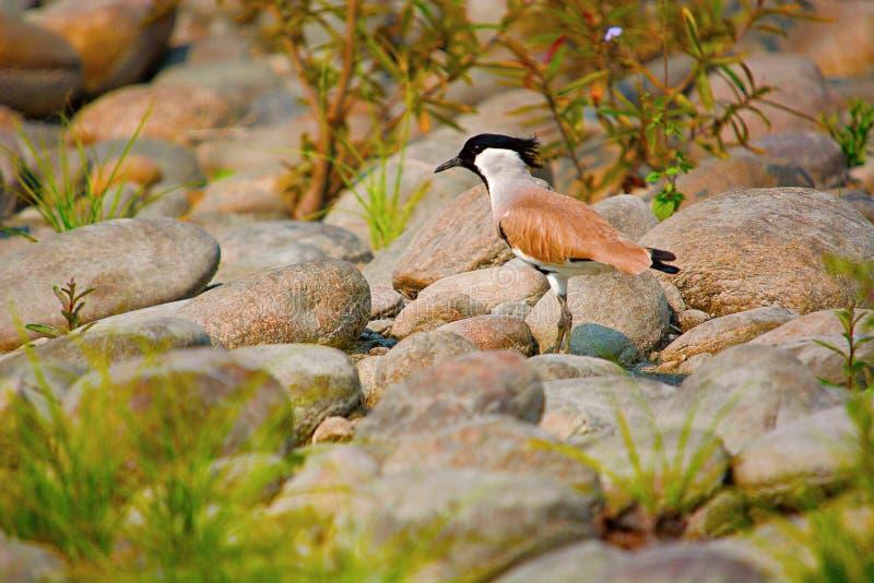 Rzeczna czajka, Vanellus duvaucelii, Kaziranga park narodowy zdjęcie royalty free