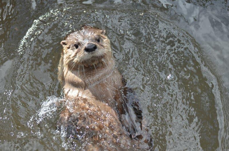 Rzecznej wydry dopłynięcie Na Jego Z powrotem w rzece obraz royalty free