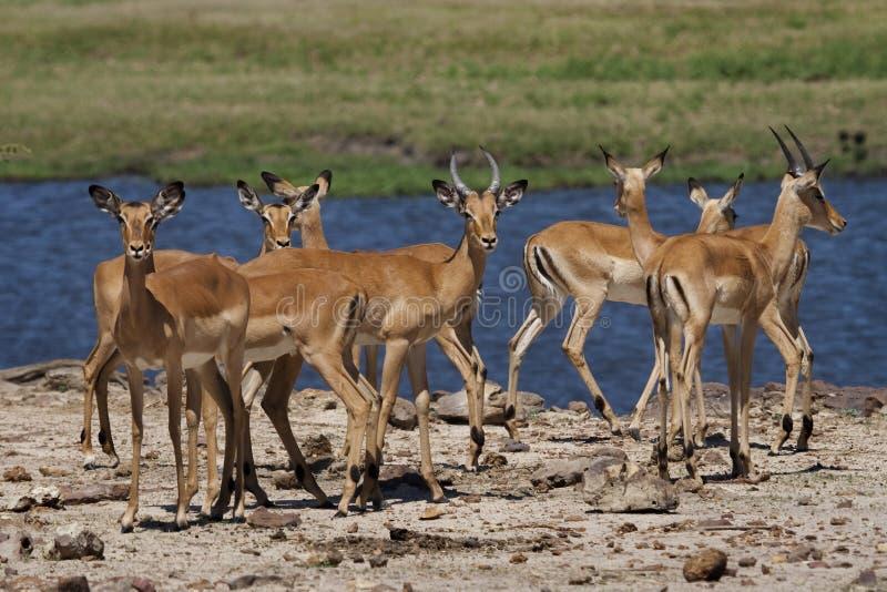 rzeczni frontowi chobe impalas zdjęcia stock