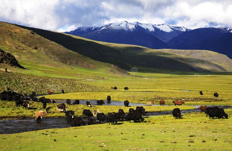 rzeczni yak zdjęcie stock