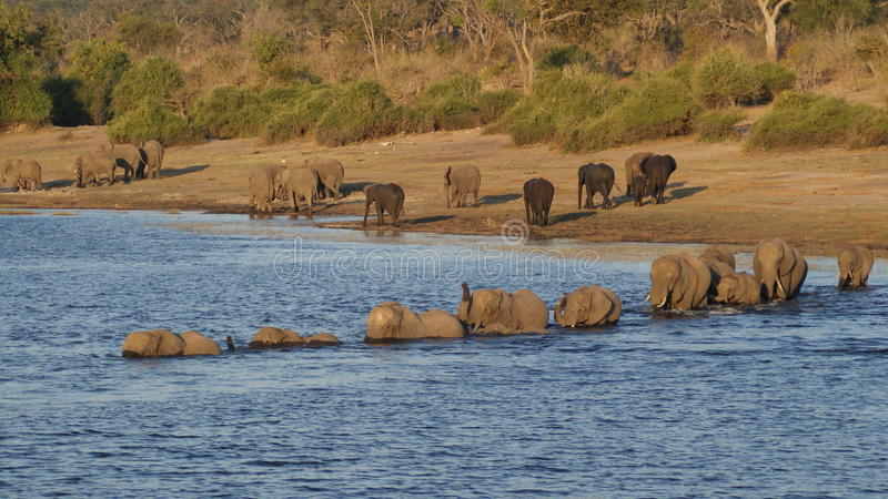 Rzeczny skrzyżowanie słoni w Chobe parku narodowym fotografia royalty free