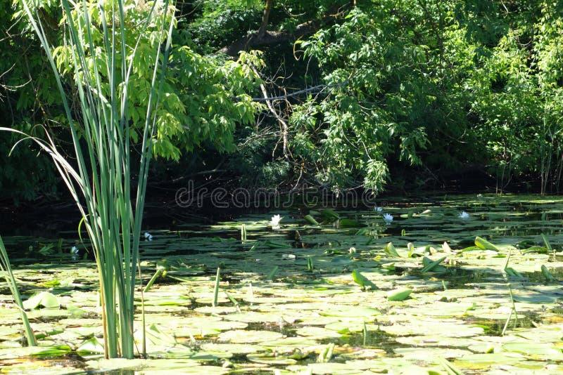 Rzeczny trawy i waterlilies lato obrazy royalty free