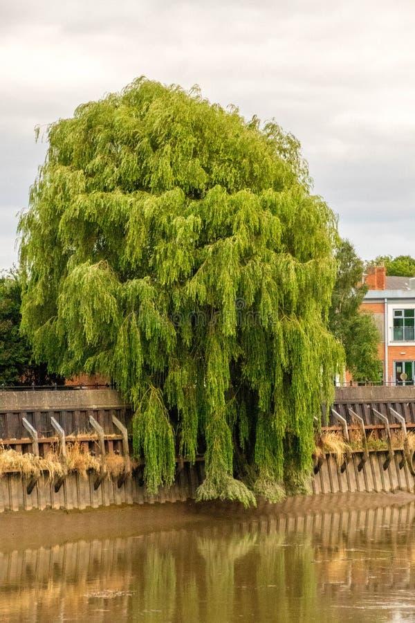 Rzeczny Trentu drzewo fotografia stock