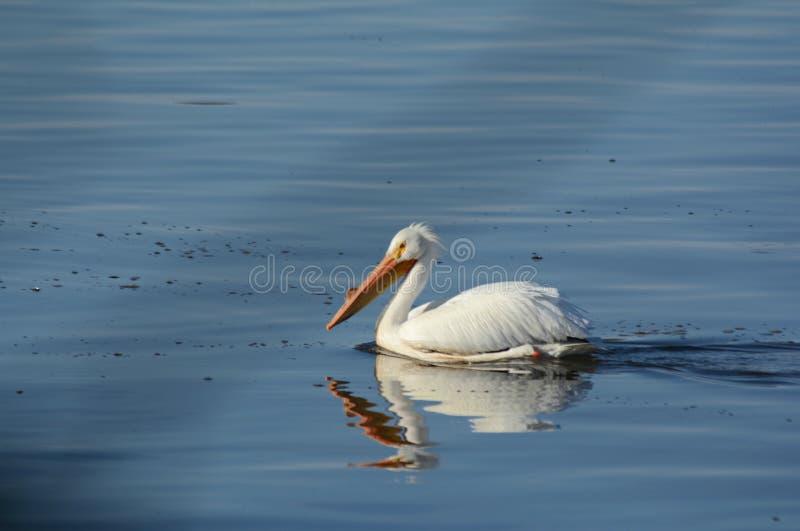 Rzeczny Tułaczy Biały pelikan obrazy royalty free