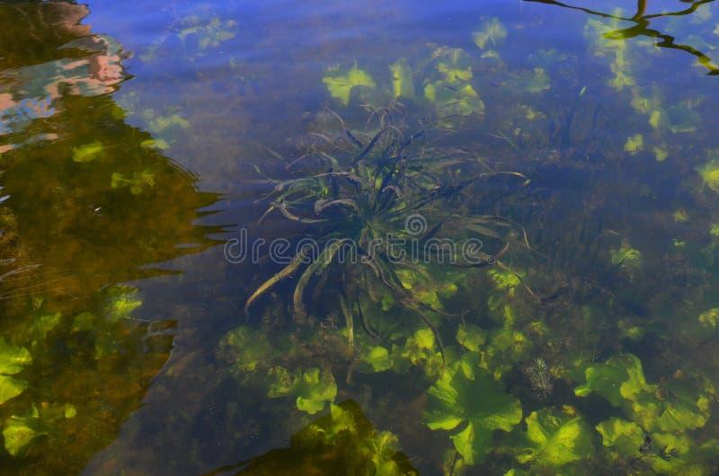 Rzecznych alg trawy podwodny widok obrazy stock