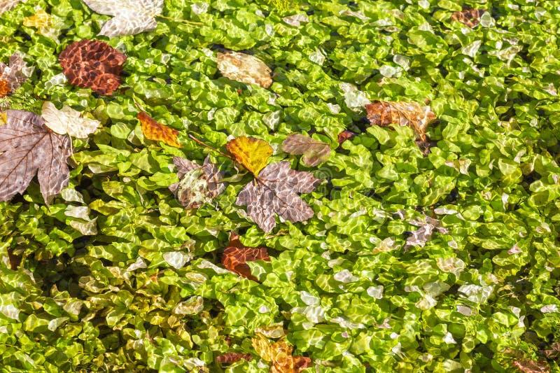 Rzeka z kolorowymi liśćmi pływającymi przez obraz stock