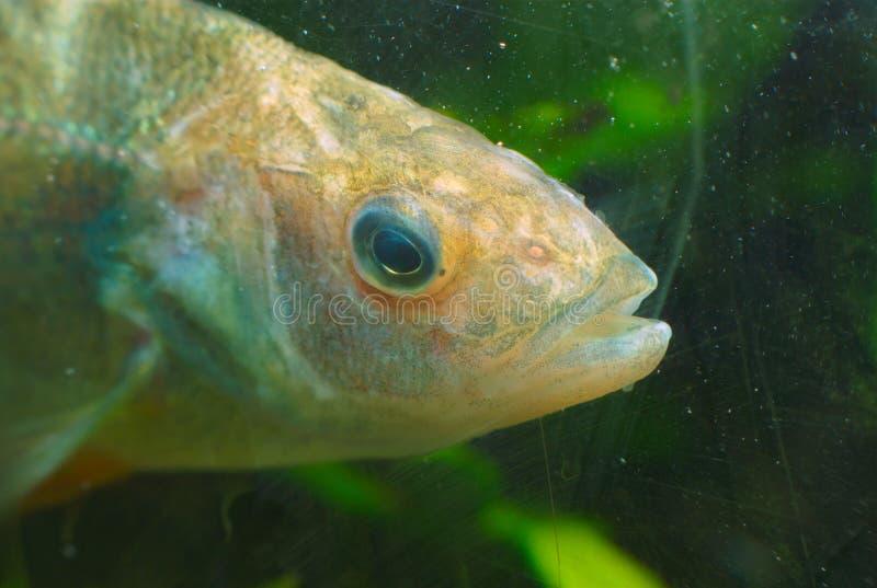 Rzeki ryba pod wodnym widoku zakończeniem up obrazy stock