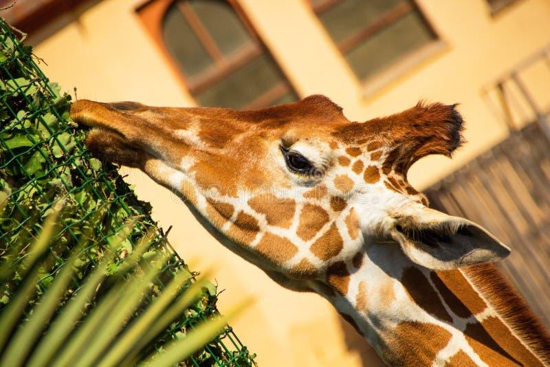 Rzym Włochy, Maj, - 31, 2018: Żyrafa je trawy od dozowników Bioparco zoo przy willą Borghese w Rzym Jawny zoologiczny park w fotografia stock