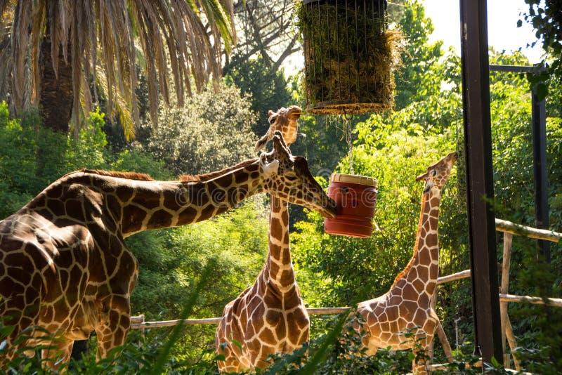 Rzym Włochy, Maj, - 31, 2018: Żyrafy jedzą siano od dozowników Bioparco zoo przy willą Borghese w Rzym Jawny zoologiczny park w zdjęcie stock