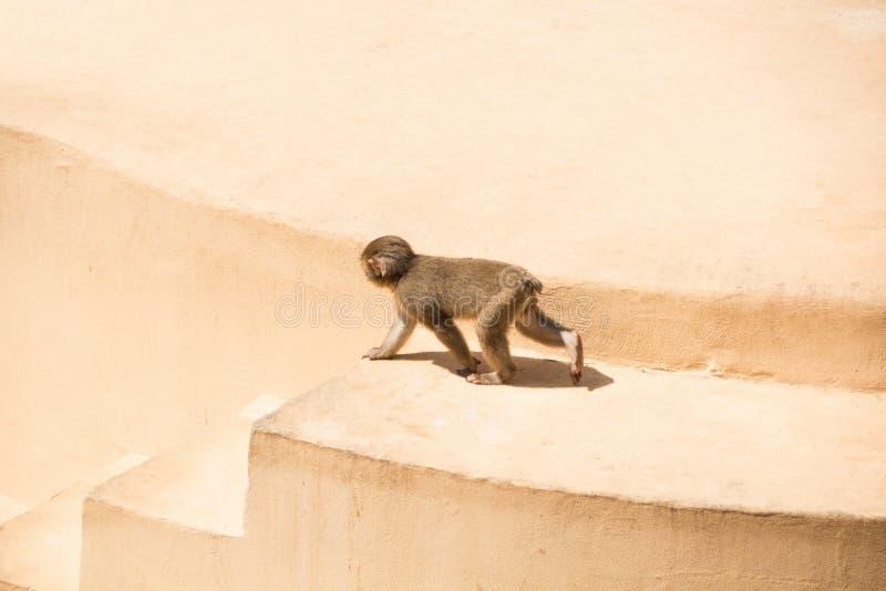 Rzym Włochy, Maj, - 31, 2018: Mały dziecko szympansa odprowadzenie Bioparco zoo przy willą Borghese w Rzym Jawny zoologiczny park zdjęcie stock