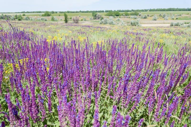 Sábio de florescência em um prado imagem de stock royalty free