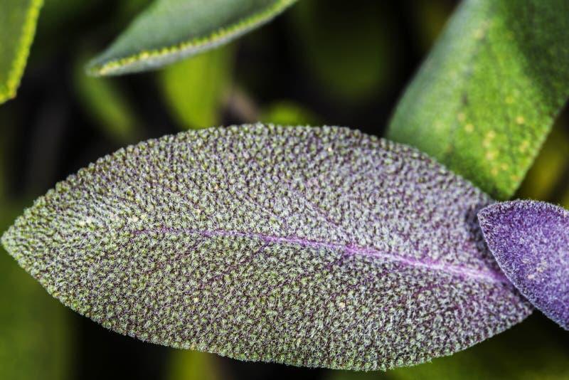 Sábio, Salvia Officinalis fotografia de stock royalty free