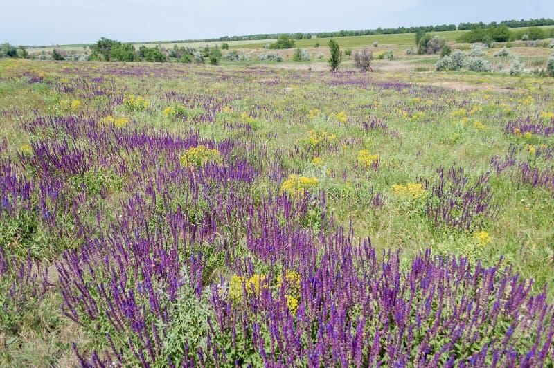 Sábio violeta de florescência em um prado no verão foto de stock royalty free