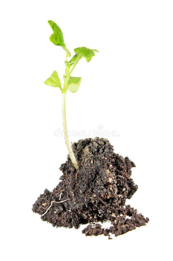 Sämling der Tomatenpflanze mit grünen Blättern und dem Wurzelwerk lokalisiert auf Weiß lizenzfreies stockbild
