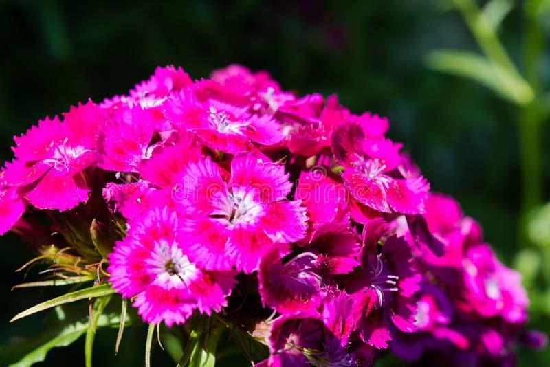 Süßer William, Dianthus barbatus, rosa Gartennelke auf einem Bett in einem Garten stockbild