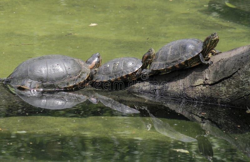 São Paulo, Brasil, três tartarugas em um início de uma sessão o rio foto de stock