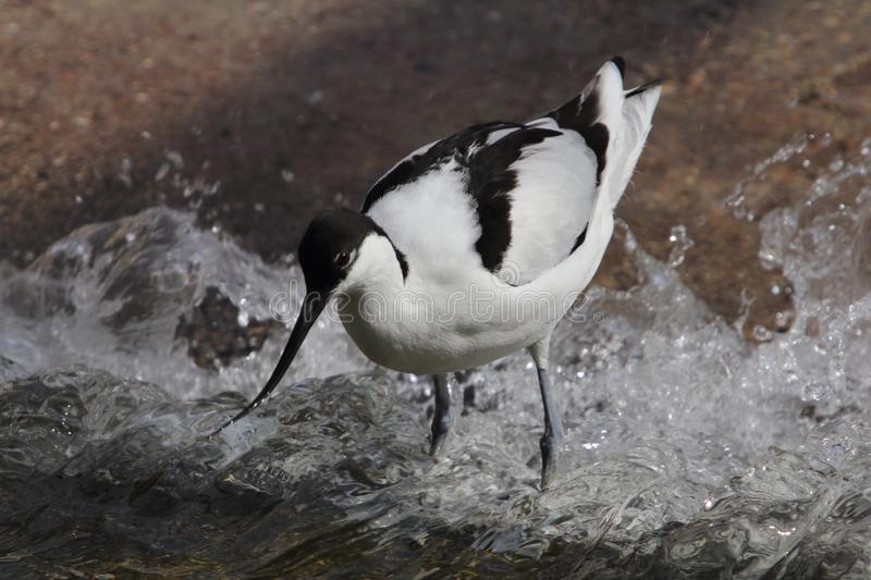 Pied avocet Recurvirostra avosetta royalty free stock photos
