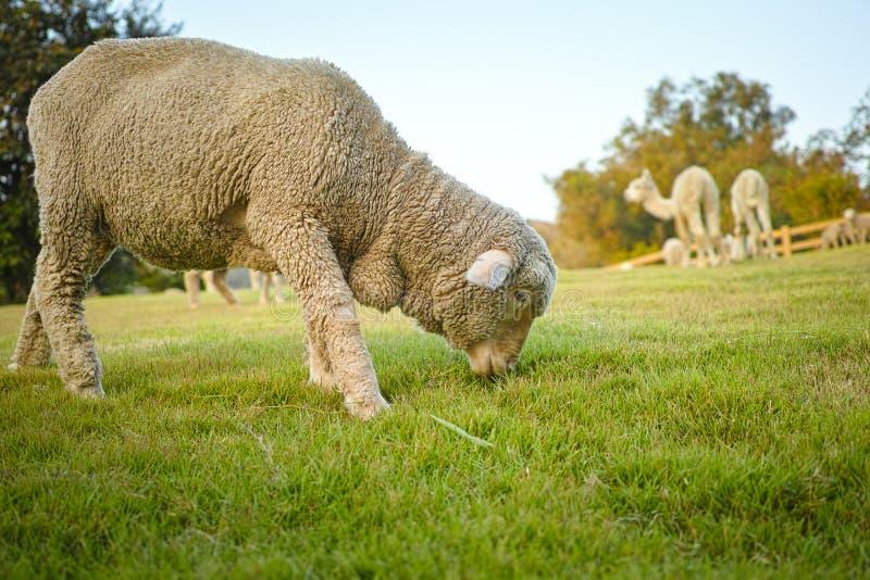 Sächsischer Merino-Ram And Alpaca stockbild